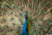 Pavo real en Batu Caves (09/09/2014)