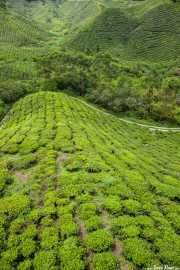 Sugai Palas Tea Plantation (24/09/2014)