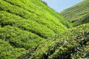 Sugai Palas Tea Plantation (24/09/2014)